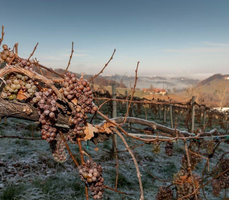 icewine vineyard of grapes